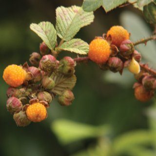 Golden Raspberry (ऐसेँलु)